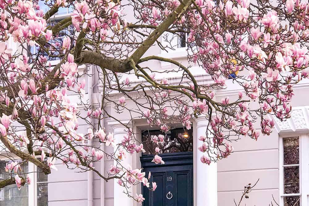 Magnolia in bloom in front of a grey building with navy blue door
