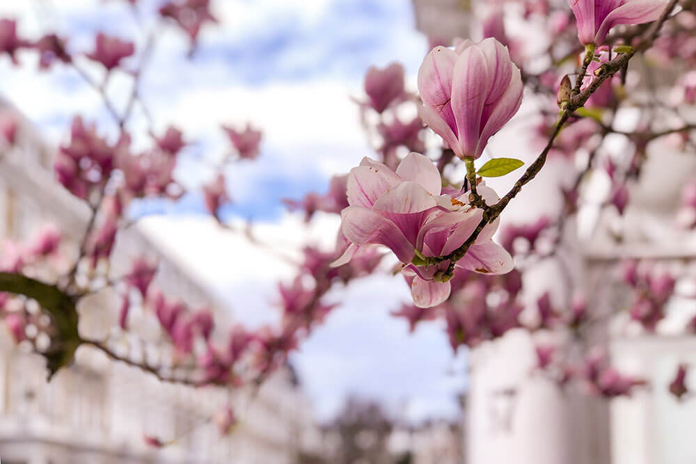 Magnolia flowers with street in the background