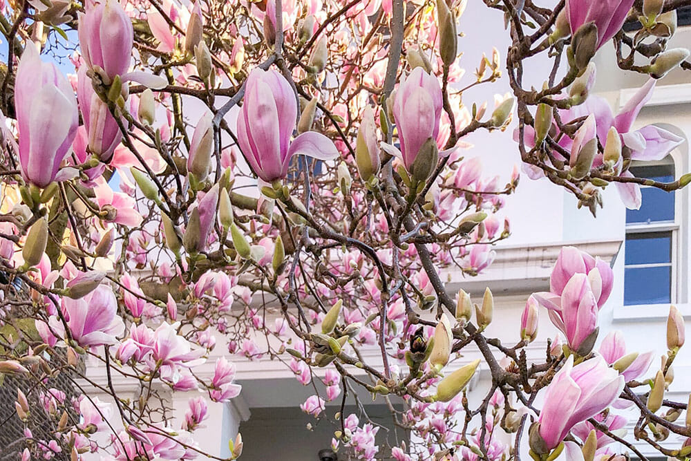 Pink magnolia flowers with white house in the background