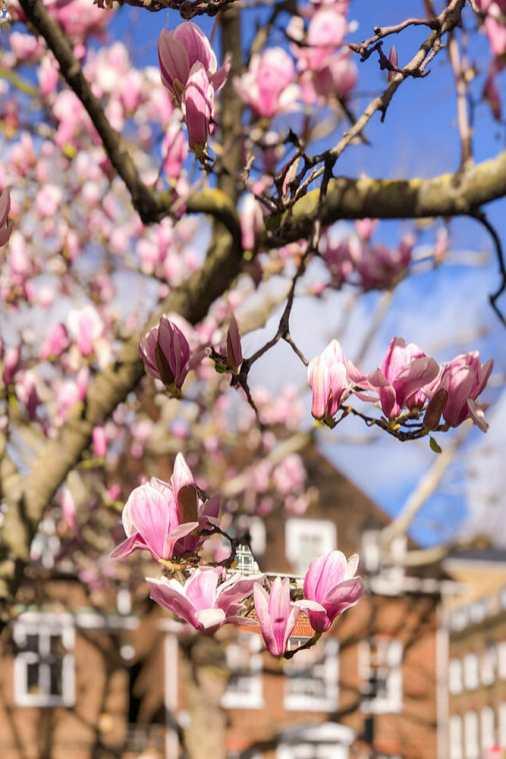 Pink magnolia blooms against blue sky