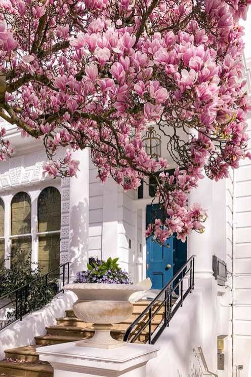 Blooming magnolia branches arching over a blued door in a white building