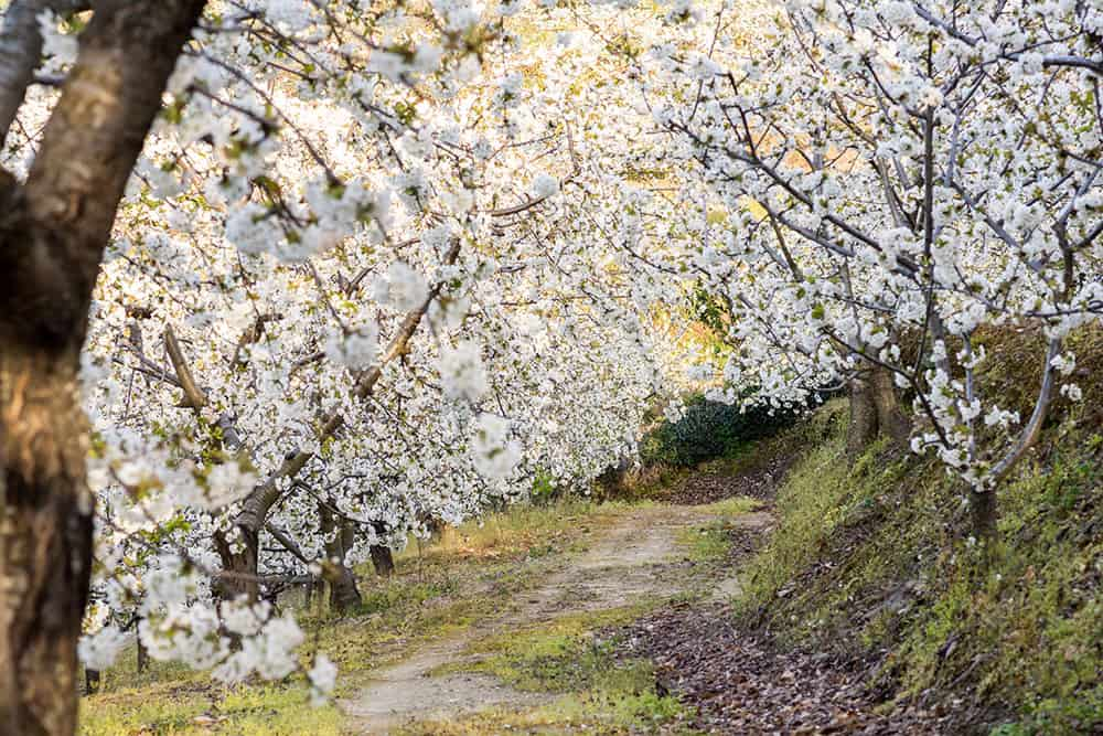 Cherry blossom arching over a path in the countryside in Spain