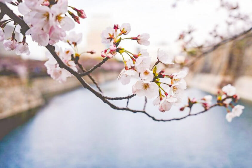 Branch of white cherry blossoms with a large pond in the background