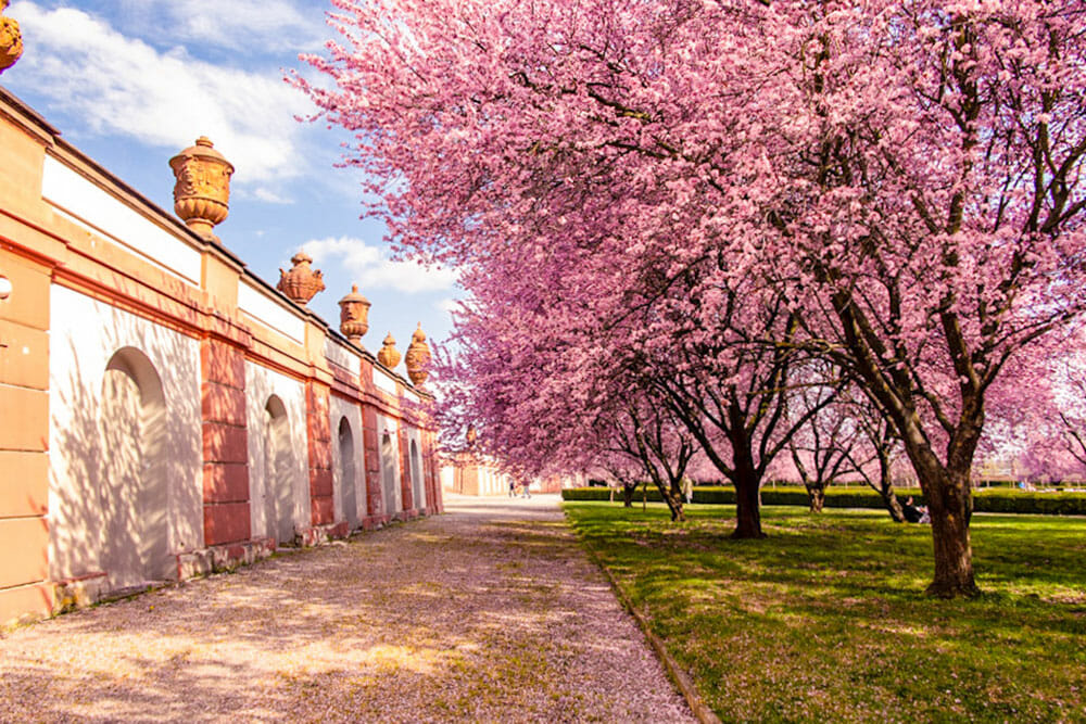 Pink cherry blossom trees next to a grand building wall