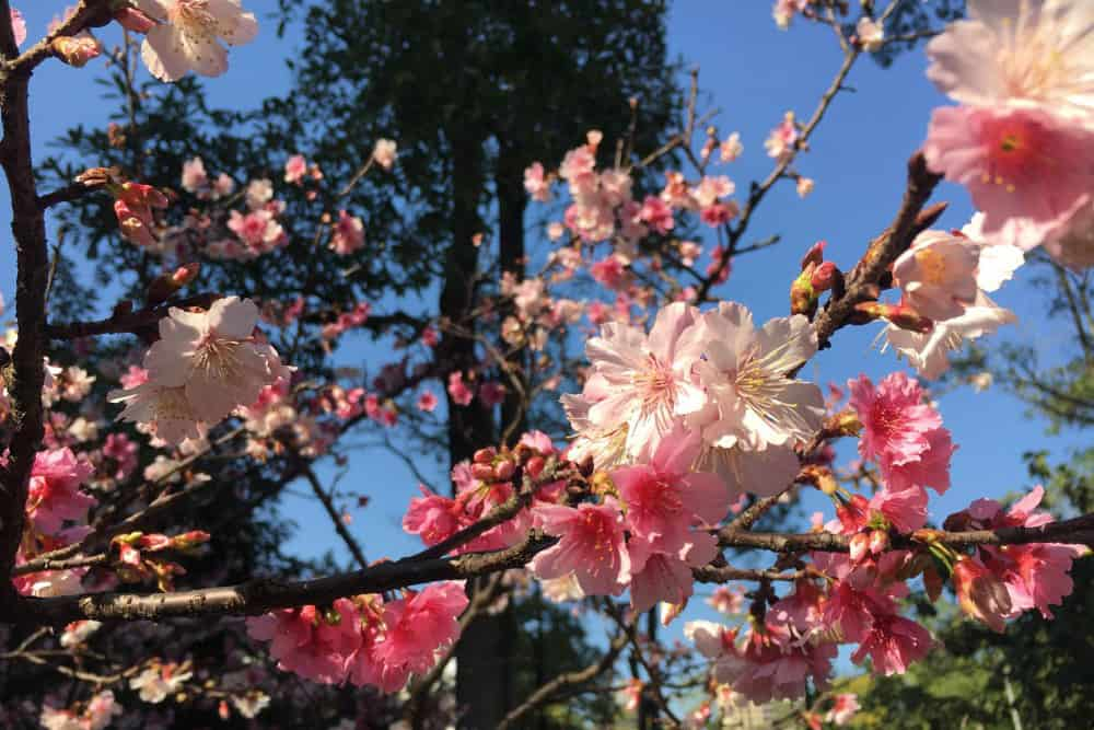Pretty pink cherry blossom flowers with blue sky in the background