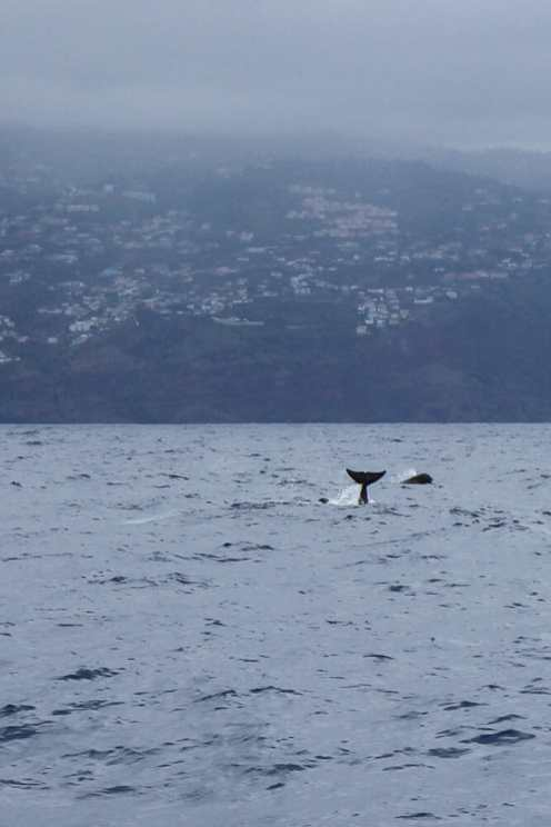 Dolphin-and-Whale-Watching-in-Madeira-1