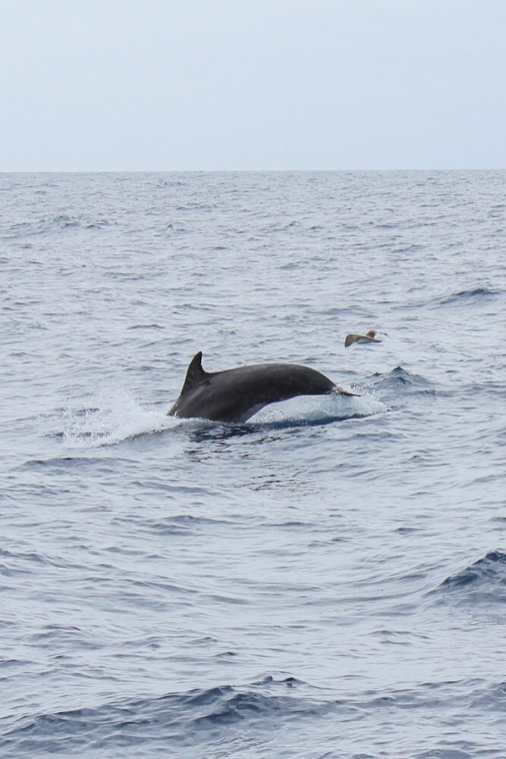 Dolphin-and-Whale-Watching-in-Madeira-2