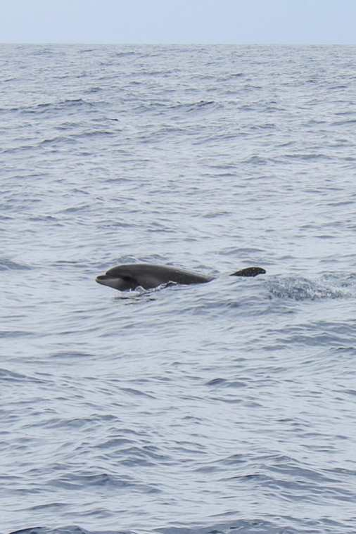 Dolphin-and-Whale-Watching-in-Madeira-3