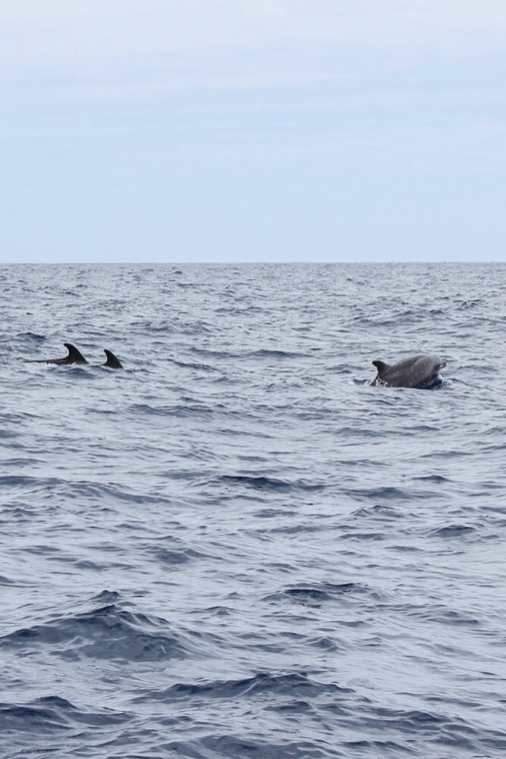 Dolphin-and-Whale-Watching-in-Madeira-4