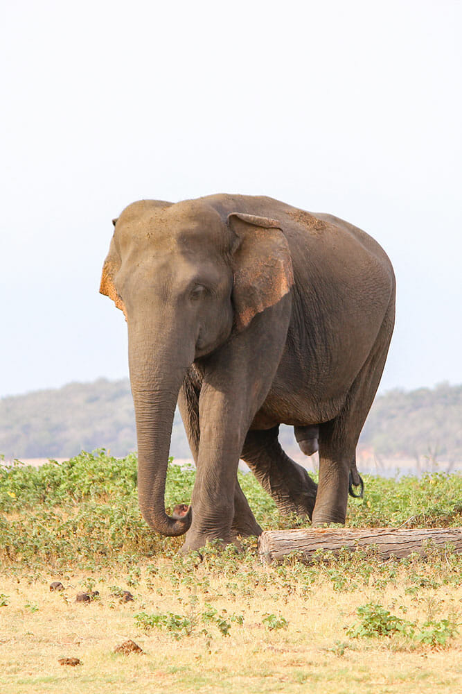 Male elephant walking on the plain