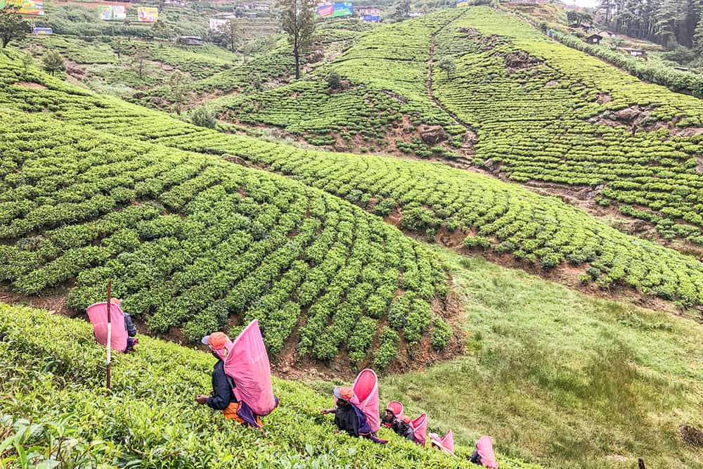 Tea plantation with tea pickers carrying pink bags on their backs