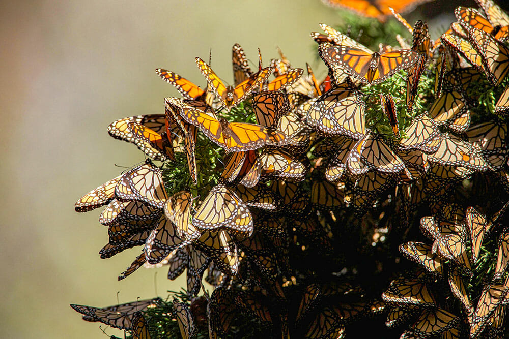 A large group of orange winged butterflies on a tree branch