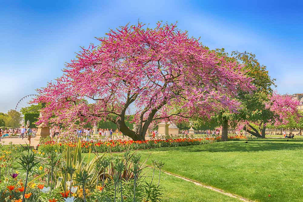 Garden with green lawn and flower beds and bloom and a tree with pink blossom in it