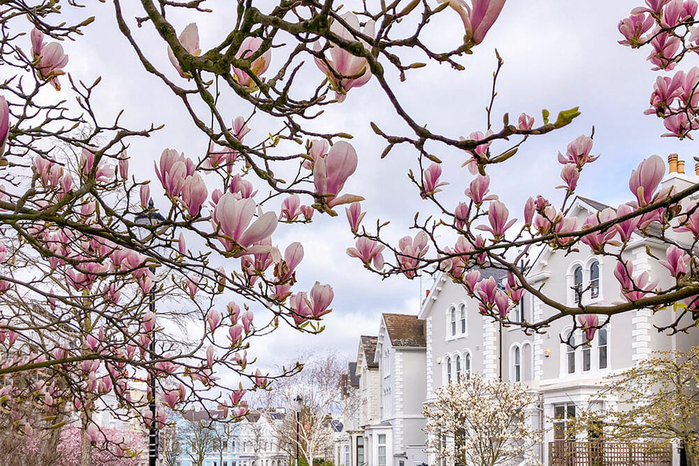 Canopy of magnolia branches in bloom in the foreground and a line of three storey townhouses in the background