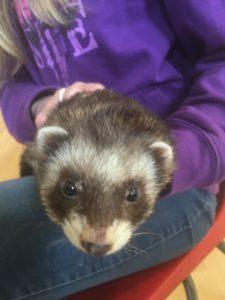 furry ferret