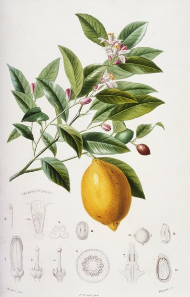 Ariadnathread Lemon Botanical Print