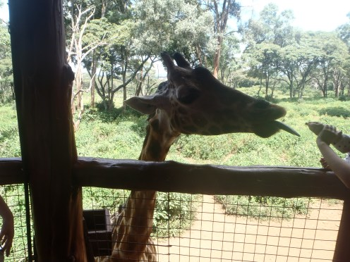 Put a pellet of food between your lips and get a 'kiss' from a giraffe!