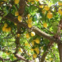 The Taste of Italian Summer:  Lemon and Ricotta tart