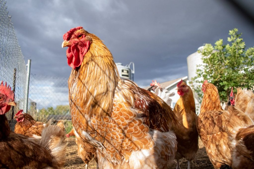 Farm Raised Chicken