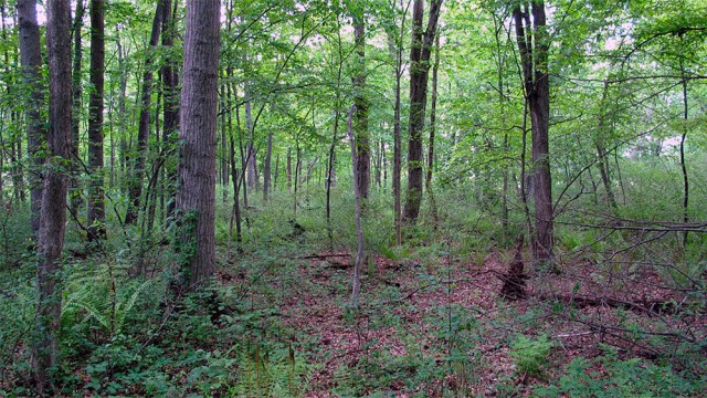 A portion of the Wet Woods, which was once a major defining characteristic of Southwest Louisville. (Courtesy Gresham Smith & Partners)