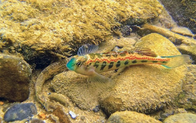 Snubnose Darter. (Tim Lane / Flickr)