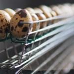 Кассета для перепелиных яиц инкубатора Broody