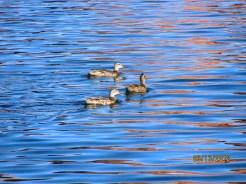 Ducks on Blue Water