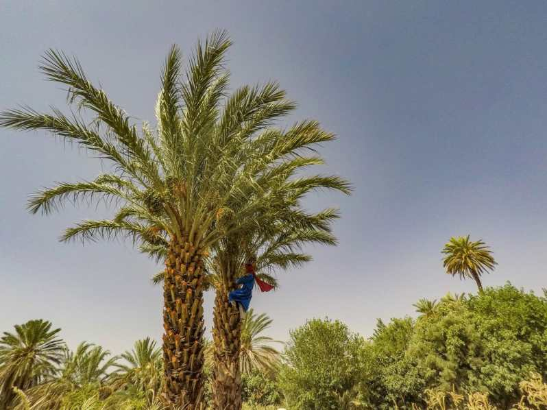 Our Berber guide in a palm tree