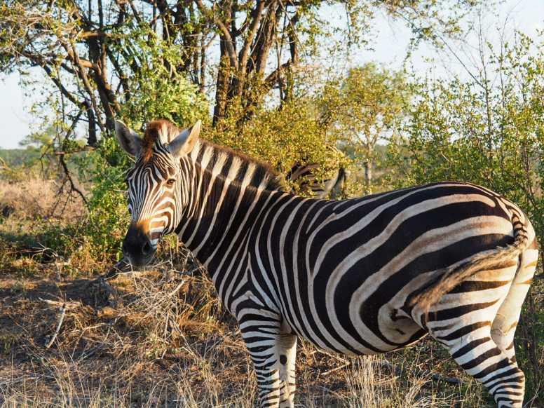 Zebra glances back at us