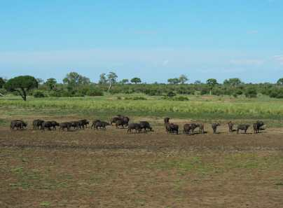 Herd of buffalo in the dry dam