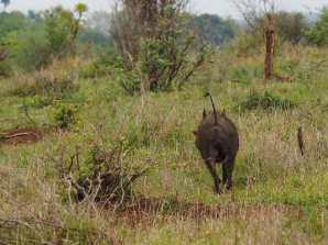 Warthog running away