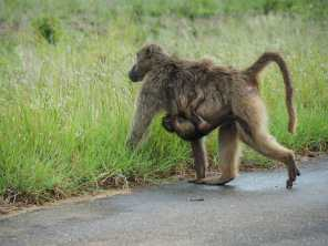 Baby baboon hitching a ride with mum