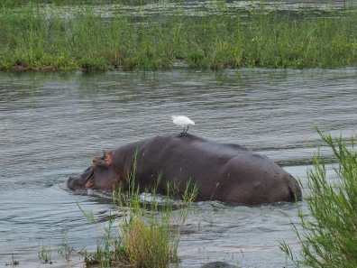 Hippo and his bird friend