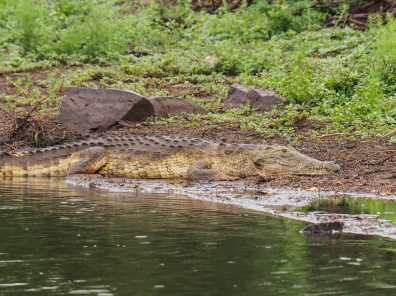 Crocodile hoping to snack on some birds