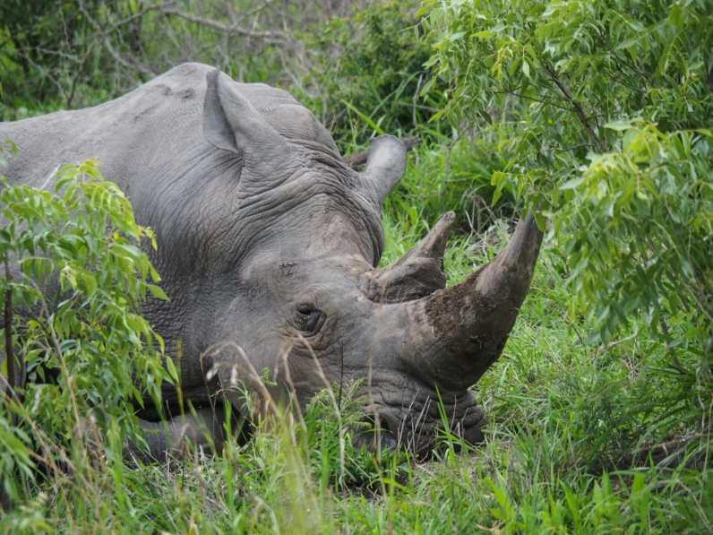 Sleepy rhino