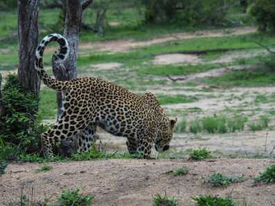 Leopard slinks off to get a drink of water