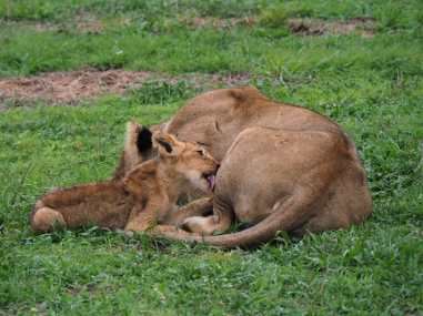 Cub cleaning his mum