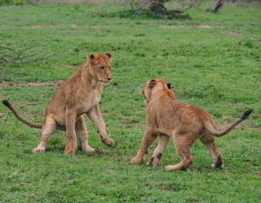 Lions play-fighting