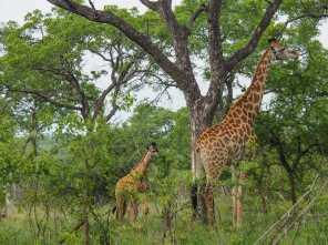 Mum and baby giraffes