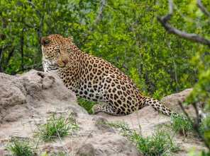 Leopard keeping lookout from a termite mound