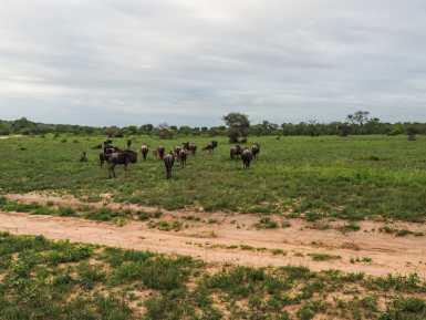 Herd of wildebeest