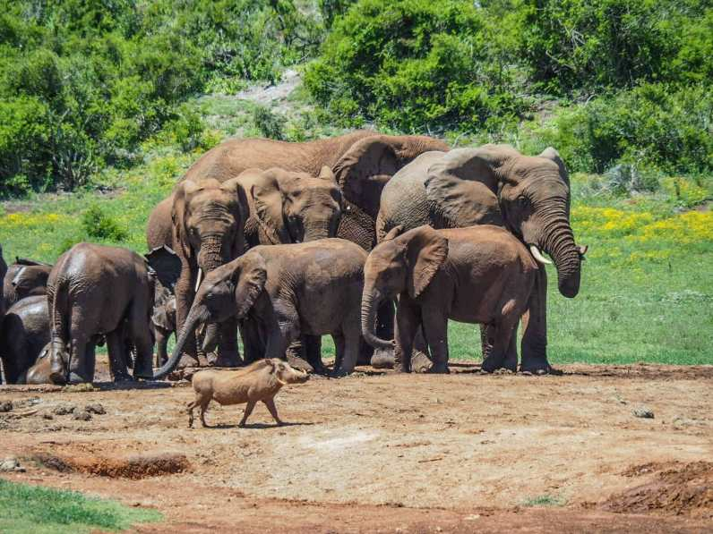 Warthog trotting casually past the herd of elephant