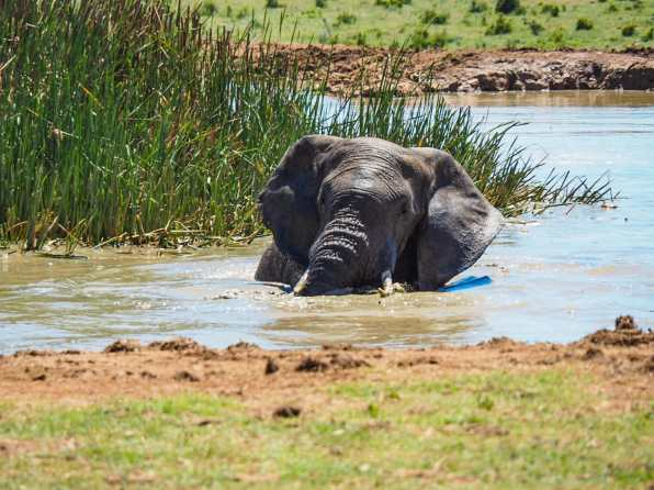 Elephant enjoying a summer splash