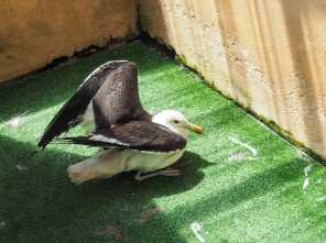 Seagull with botulism