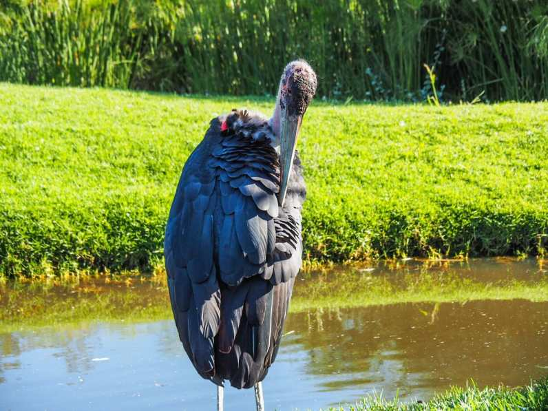 Marabou stork (aka world's ugliest bird)