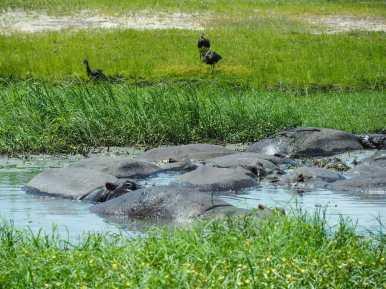 Hippos having a cool dip/nap
