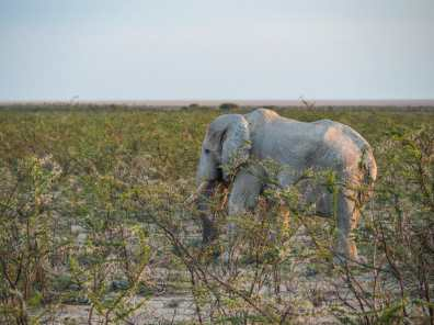 Elephant in the early am