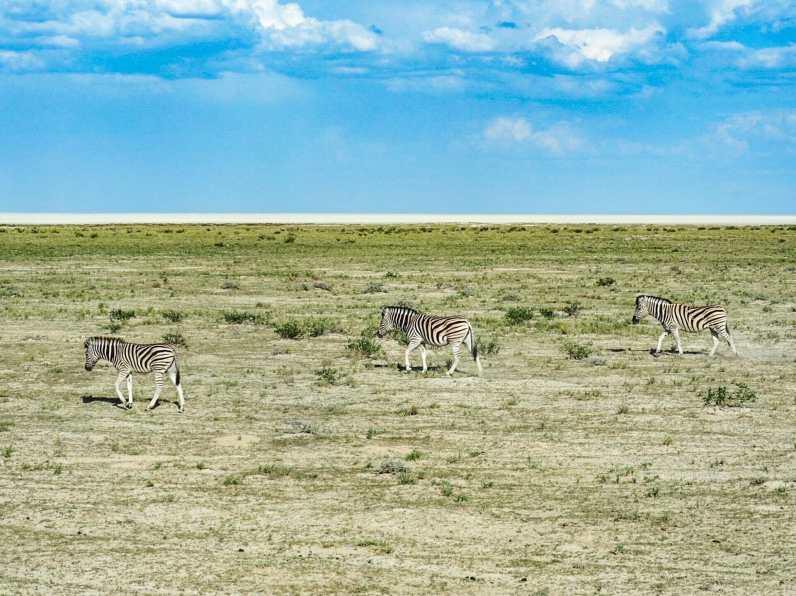 Zebra in formation