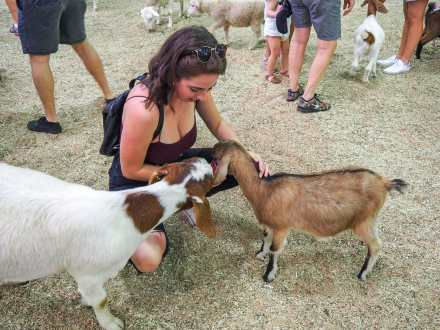 Feeding some of the little goats