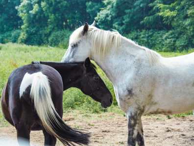 Some sweet little Irish horses